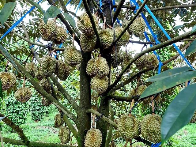 Hệ thống tưới nhỏ giọt trong sự phát triển của cây sầu riêng
