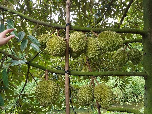 Hệ thống tưới nhỏ giọt cần có cho cây sầu riêng phát triển